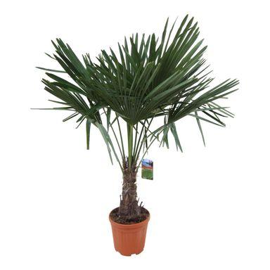 Szorstkowiec Fortunego 130 140 Cm Kwiaty Balkonowe I Ogrodowe W Atrakcyjnej Cenie W Sklepach Leroy Merlin Plants