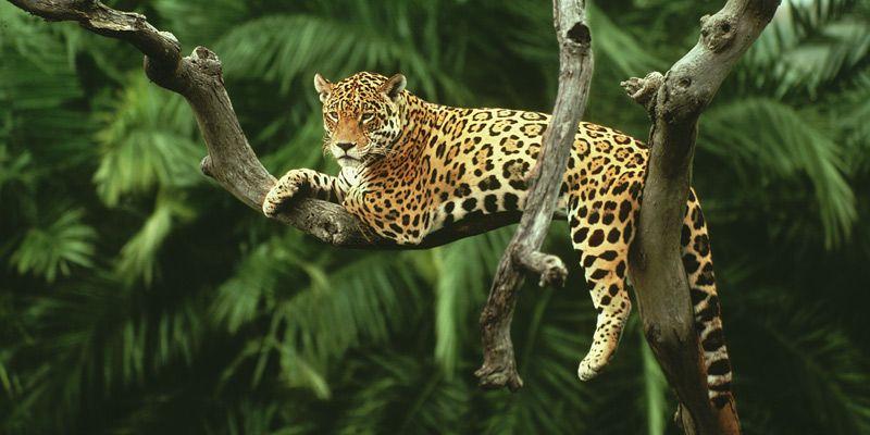 Jaguar Ausgestopftes Tier Saugetiere Tierbilder