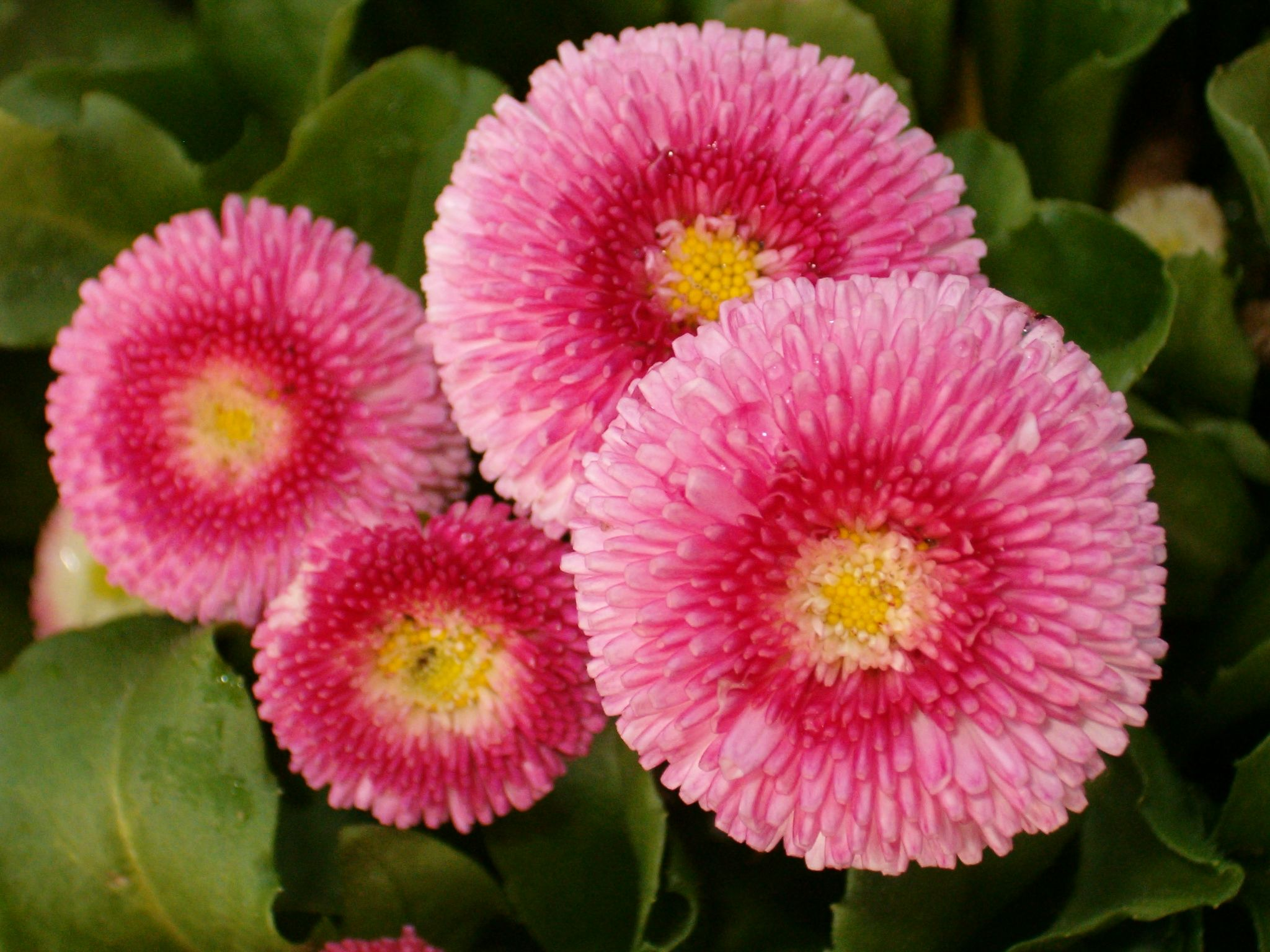 how to winterize english daisy garden guides gardening