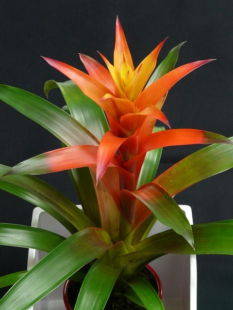 pink bird of paradise plant | flower of a tropical heliconia plant