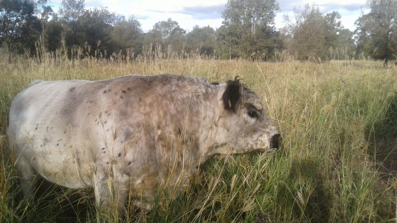 My Handsome Miniature Galloway Bull Cattle For Sale At Registered