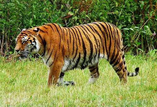 Tiger - http://www.1pic4u.com/blog/2014/10/27/tiger-71/