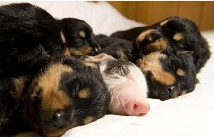 Too cute- puppies and a piglet