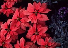 Plant and Grow Poinsettias in Your Garden