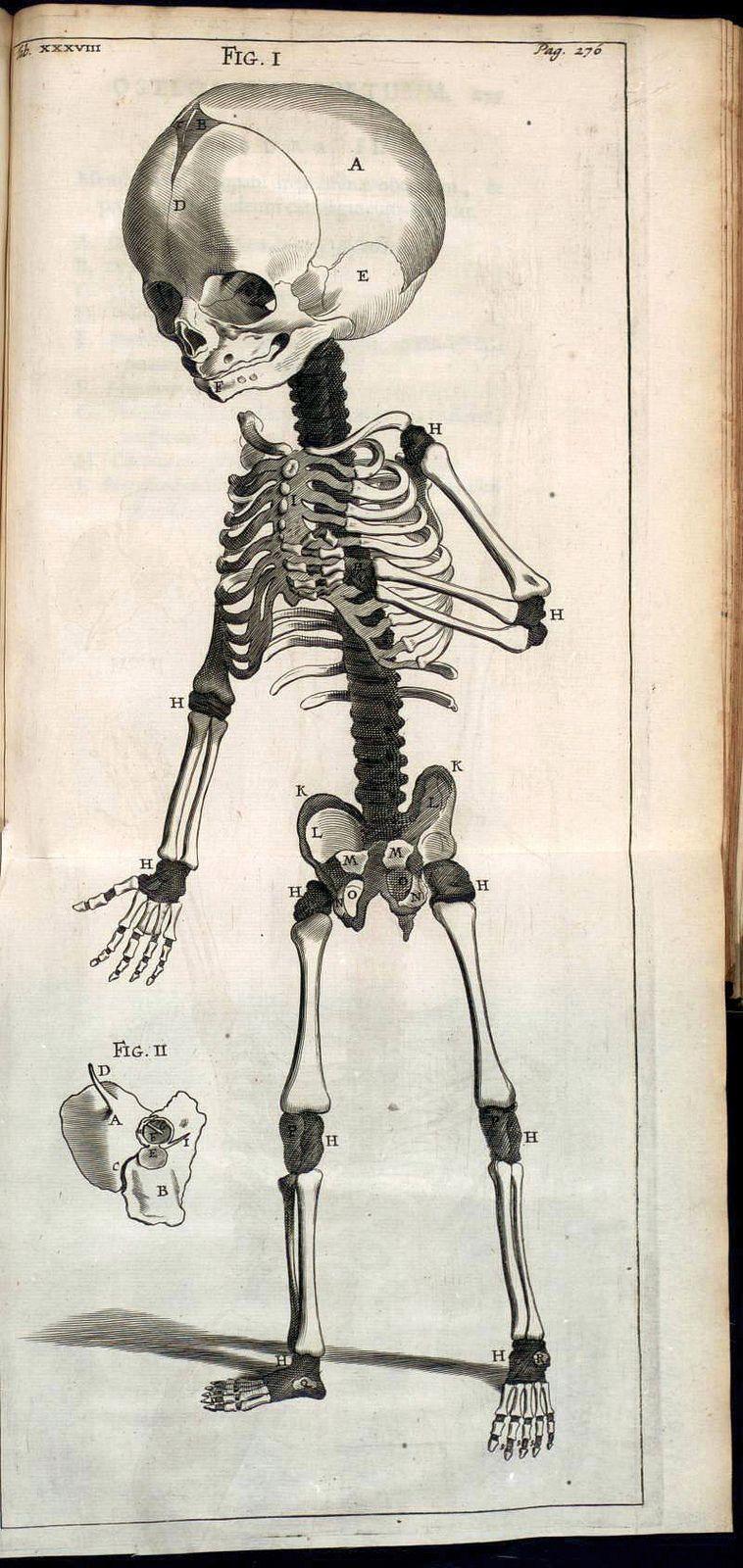 Anatomy Illustrations 1600s | XVIIth Anatomy | Pinterest