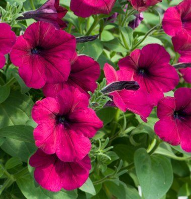 David S Hybrid Flower Petunia Ramblin Burgundy Chrome Improved