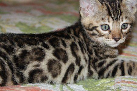 Bengal Kittens Bengal Kitten Bengal Cat Asian Leopard Cat