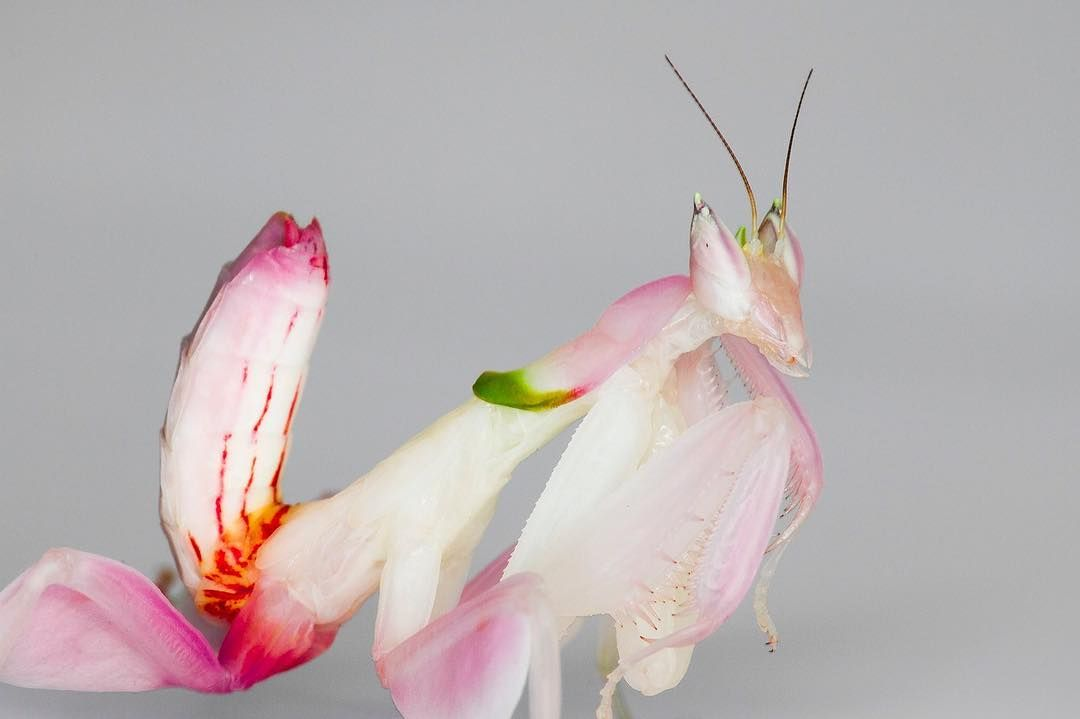 The Orchid Mantis Attracts Prey By Camouflaging Itself As A Flower Photo By Frupus Via Qikipedia Orchid Mantis Insects For Sale Orchids