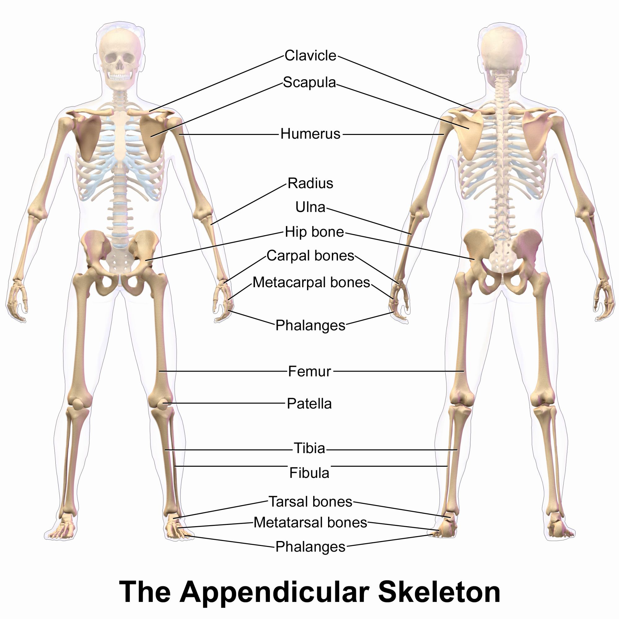 Appendicular Skeleton Worksheet Answers Unique The