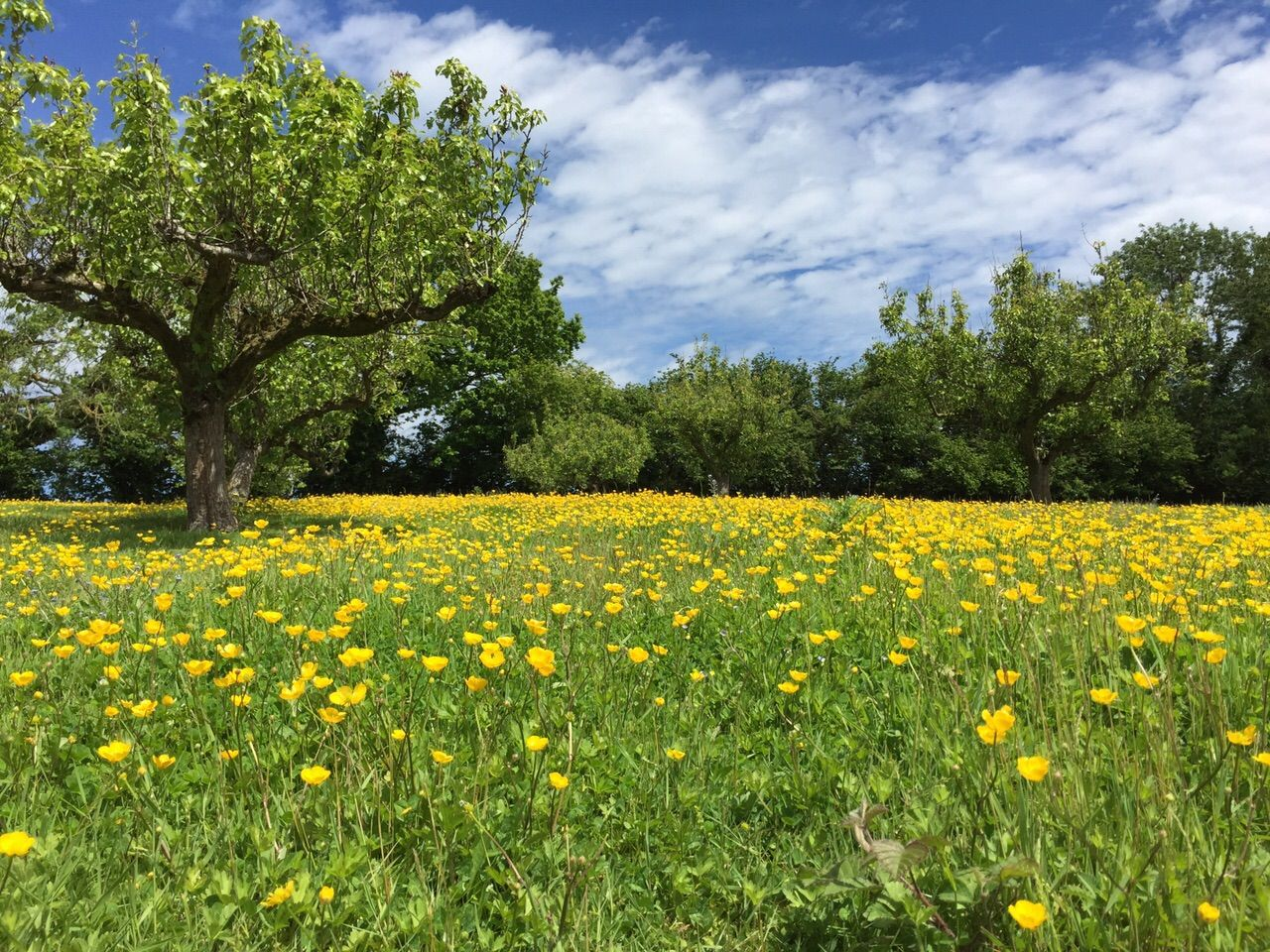 Kelly Brook Pear Orchard and Buttercups in Kent Kelly