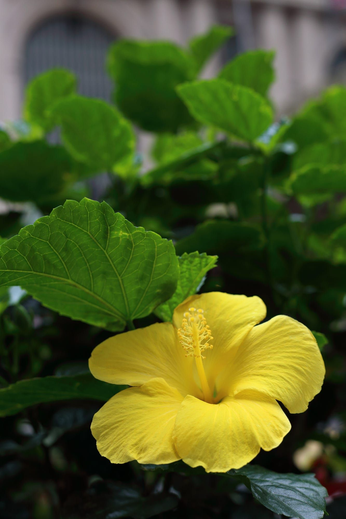Just found a flower of hibiscus in perfect shape when i was walking just found a flower of hibiscus in perfect shape when i was walking in the city izmirmasajfo