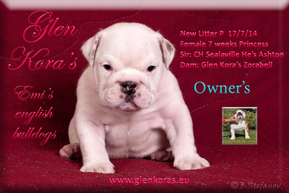 English bulldog puppies kennel glen koras wwwglenkoras