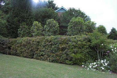 crepe myrtles shade fragrant