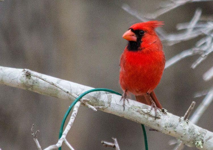 Cardinal in South Texas Animal hospital