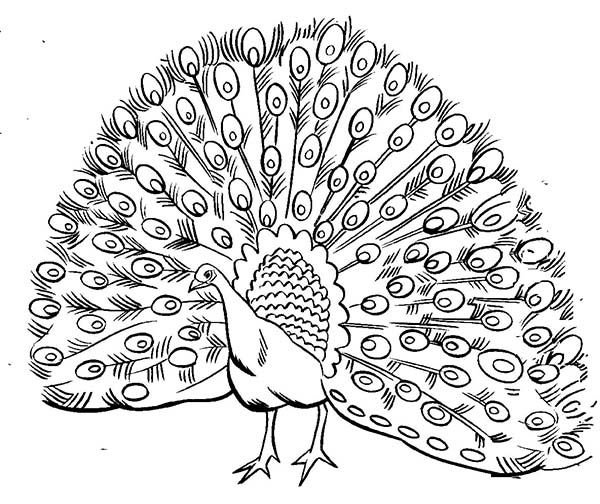 realistic peacock coloring page realistic image of male peacock with open plumage