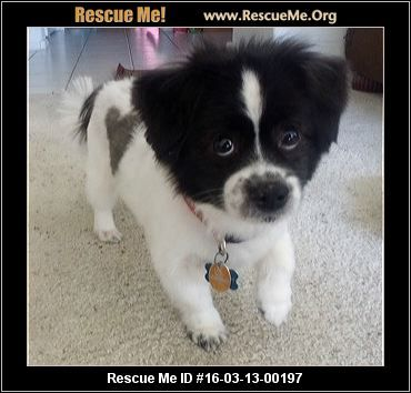 Arizona Pomeranian Rescue Adoptions Rescueme Org Pomeranian