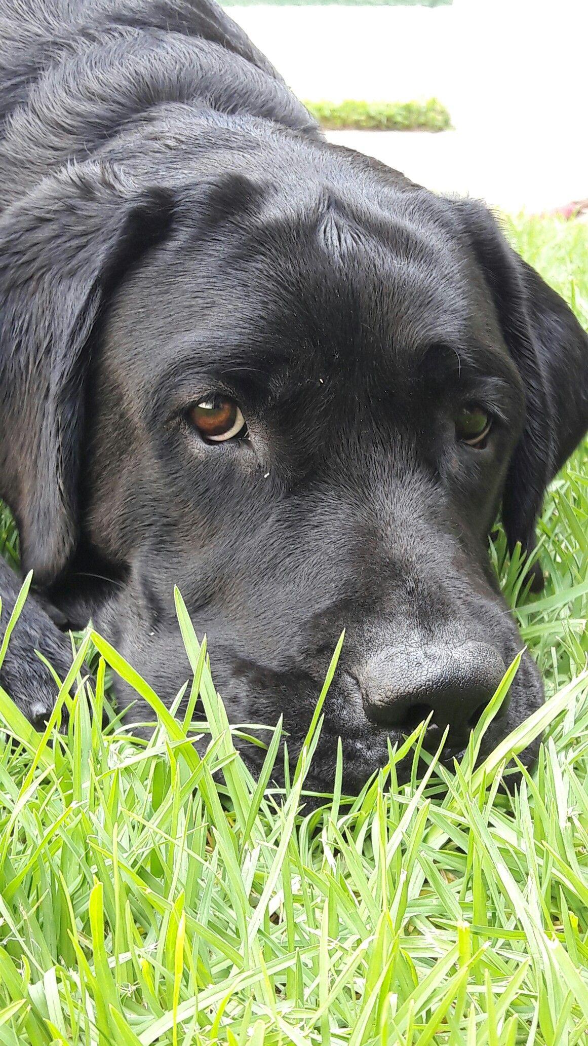 Labradorretriever Milka Puedes Ignorar Esa Mirada Black Labrador Retriever Labrador Dog Labrador