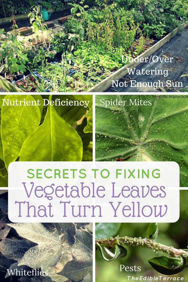 Secrets To Fixing Vegetable Leaves Turning Yellow Garden Plants Vegetable Vegetable Garden For Beginners Planting Vegetables