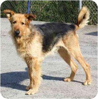 Airedale Terrier Husky Mix Husky Mix Rare Dog Breeds Unique Dog Breeds