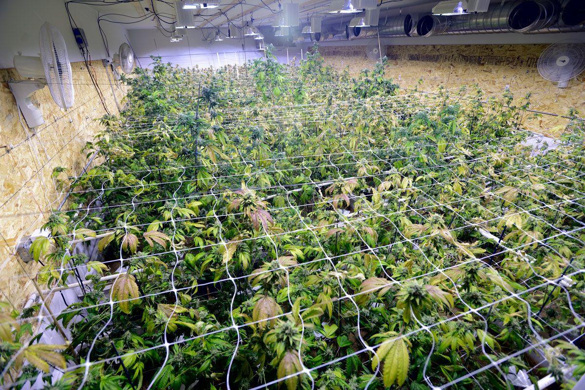 Florida's Illegal Marijuana Growers Take $55 Million Hit