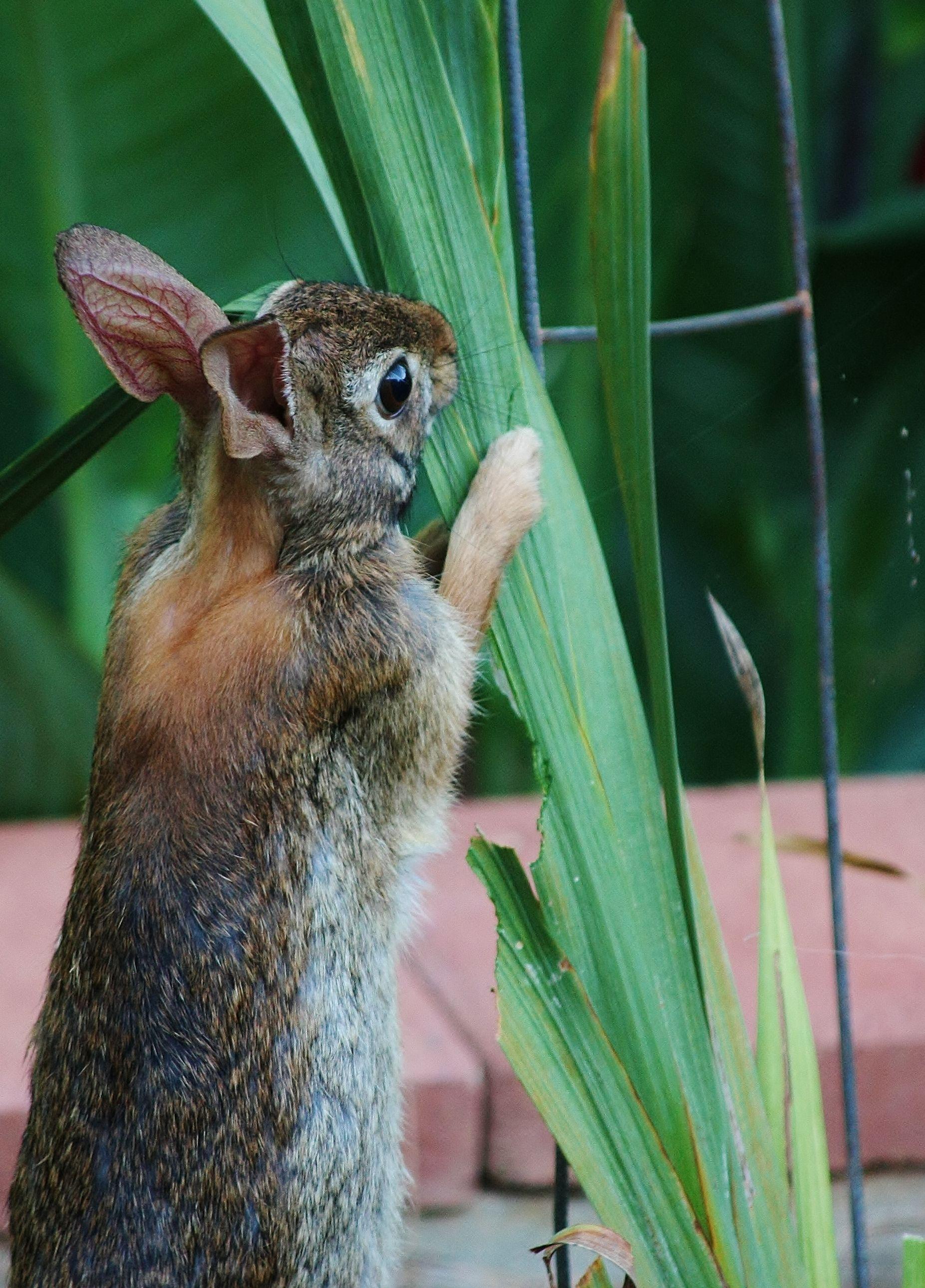 Rabbits enjoy gladiola leaves