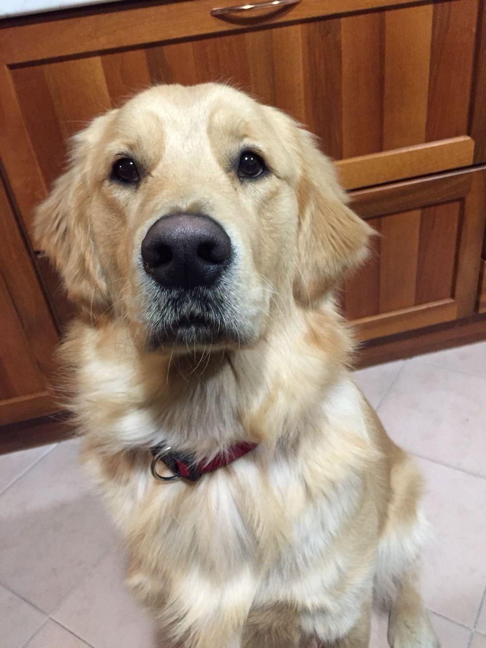 Boomer Golden Dog Best Dogs For Families Golden Retriever