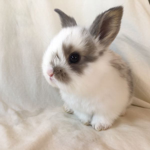 Dwarf baby rabbits for sale Rabbits Gumtree Australia