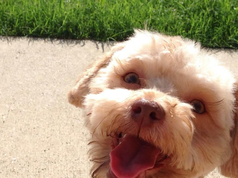 Adopt Owen on | Poodle mix dogs, Terrier poodle mix ...