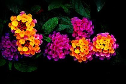 Lantana Flowers Hd Wallpaper Lantana Flowers Flower Pots