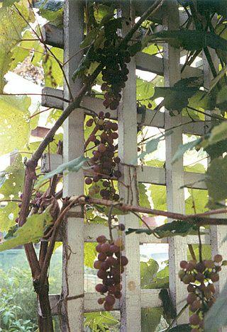 Growing Grapes In Maine By Mofga Grape Trellis Garden Vines