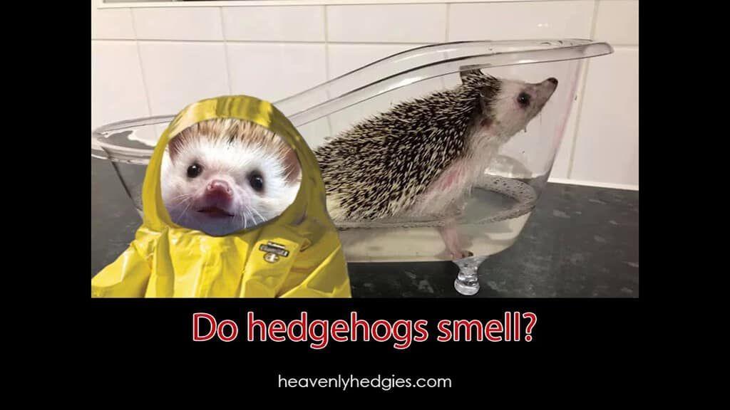 Do Hedgehogs Smell Pet Fashion Pet Store Pet Vet