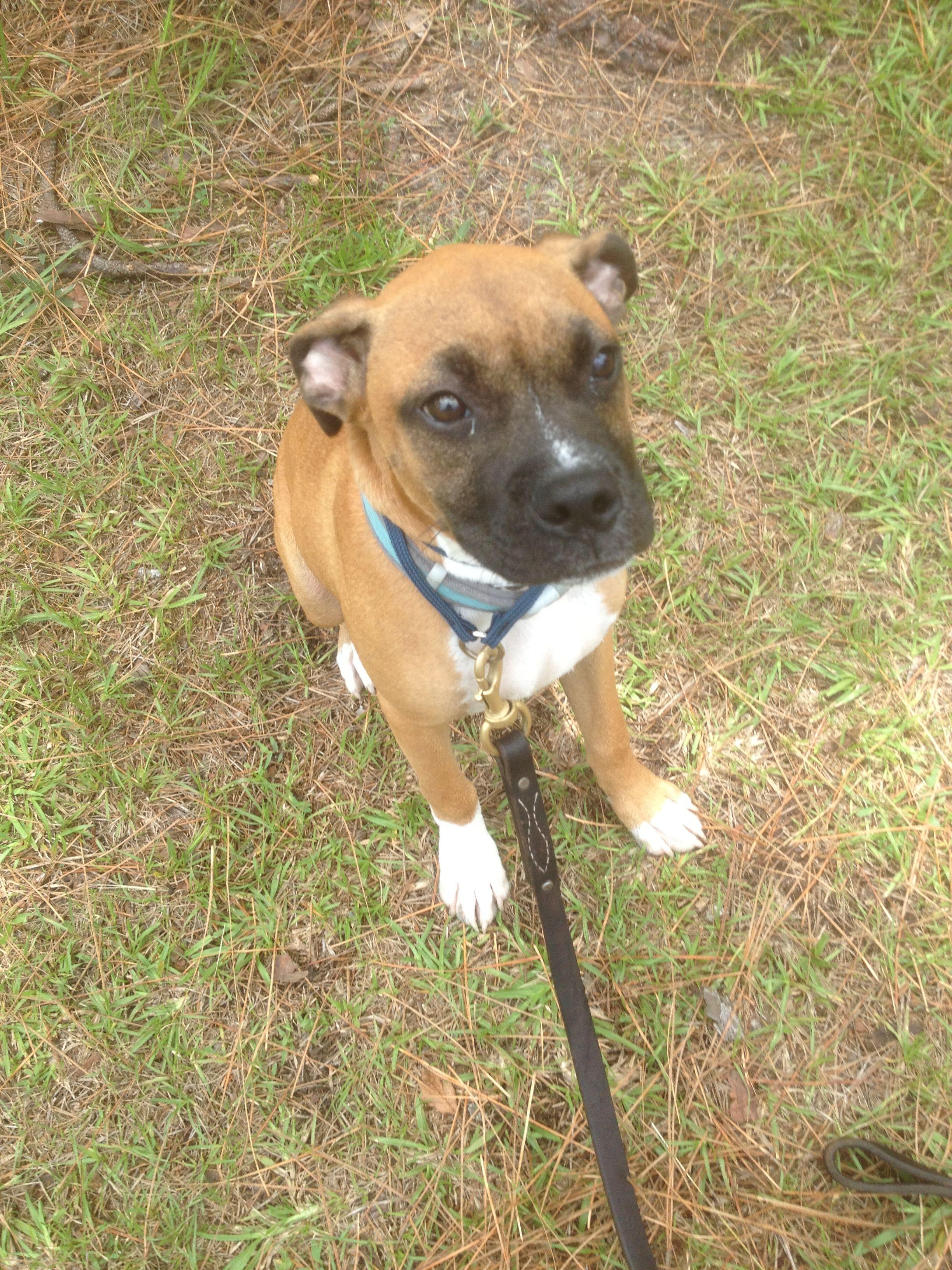 Captain, Boxer, Sarasota, FL Dogs, Boxer, Pitbulls