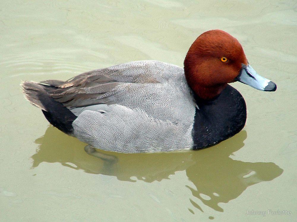 "Red Head Duck"" by Johnny Furlotte   Redbubble"
