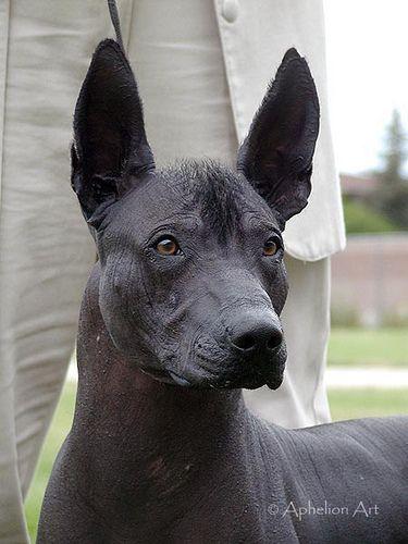 Xoloitzcuintli | Dog I would have if I had time | Hairless