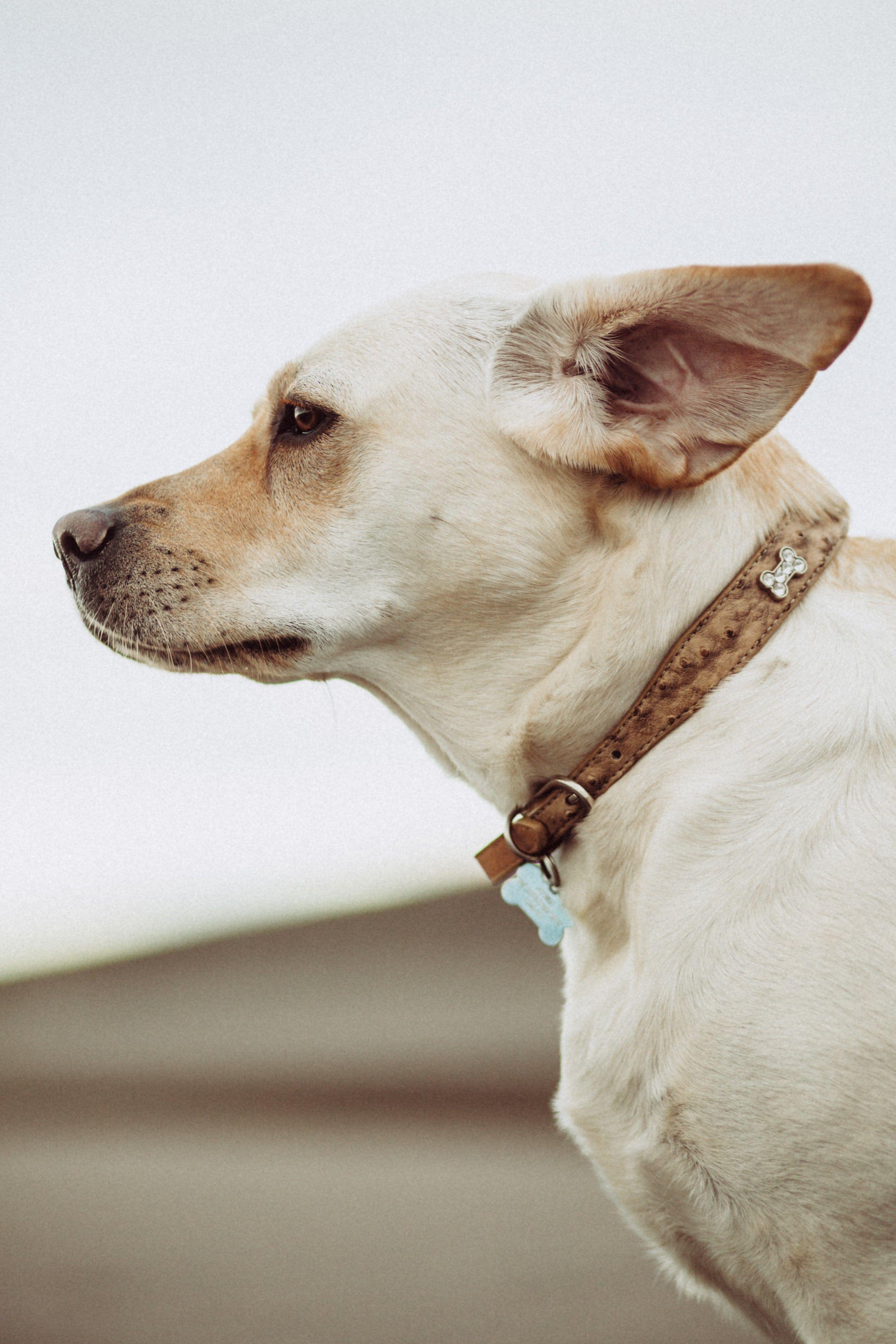 Short Coated Beige Dog Dogs Dog Training Obedience Dog Whistle