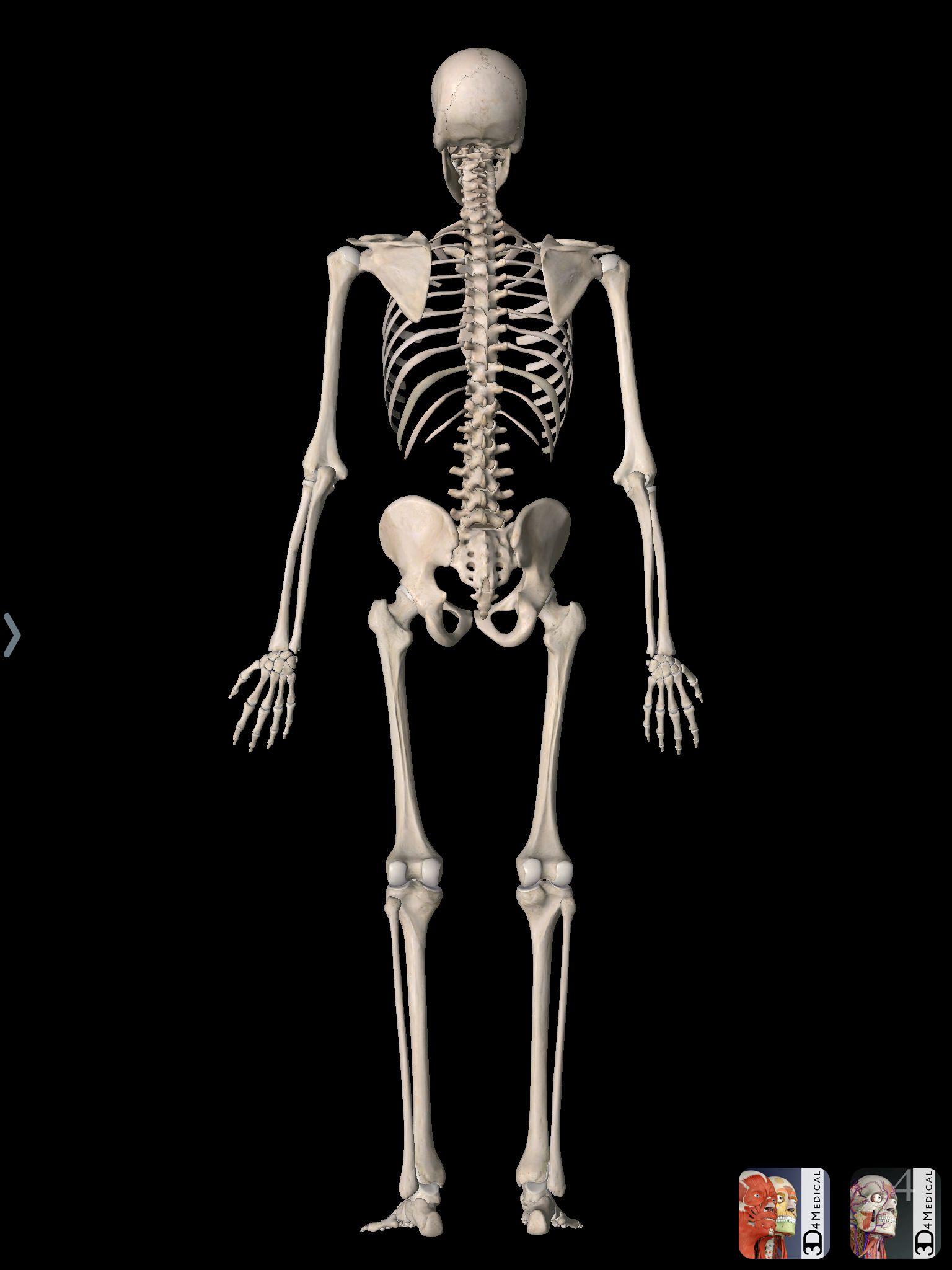 Esqueleto humano | Anatomía, apps | Pinterest | Esqueleto humano ...
