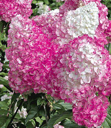 Freiland-Hortensie \u0027Vanille Fraise®\u0027 garten heckenpflanzen