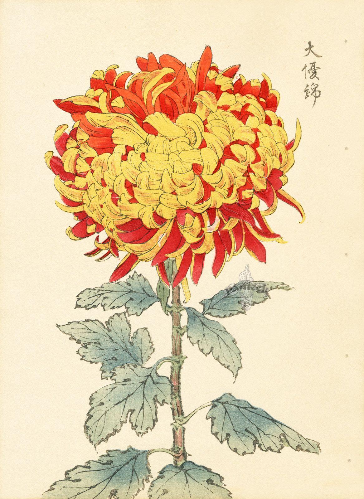 Keika Hasegawa Chrysanthemum Wood Block Prints 1893 Kunst Ideen Japanische Malerei Botanische Illustration