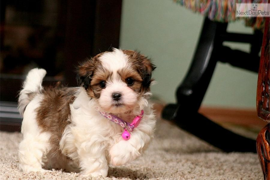 Shih Tzu Puppies For Sale In Columbia Anderson South Carolina