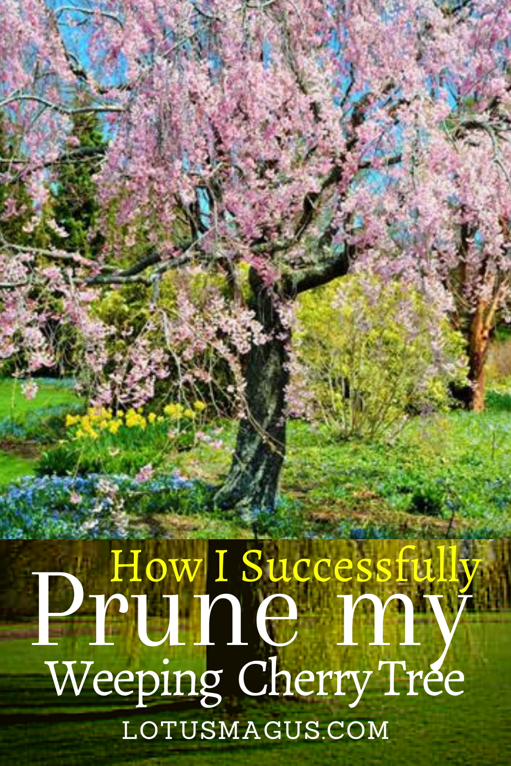 How Can You Prune Weeping Cherry Tree Successfully Weeping Cherry Tree Cherry Tree Cherry Tree Tattoos