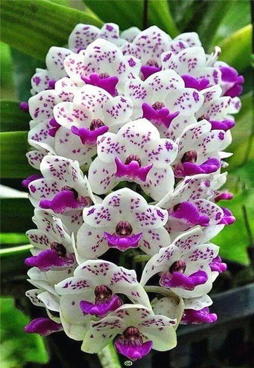 Hot Sale 100pcs 22 Colors Rare Cymbidium Orchid African Cymbidiums Seeds Beautiful Orchids Bonsai Flower Orchid Flower