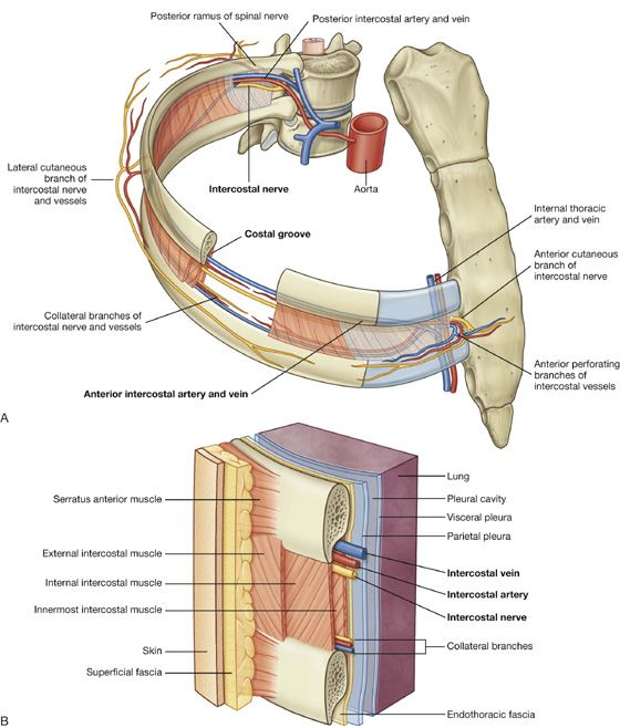 Image Result For Anterior Intercostal Arteries Pa Anatomy