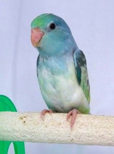 new turquoise pied baby