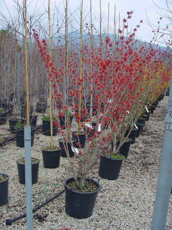 Zaubernuss Hamamelis Winterbluher Ziergeholze Baume Garten Gartenprodukte Ziergeholze