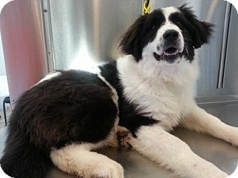 Bloomington Il Great Pyrenees Border Collie Mix Meet