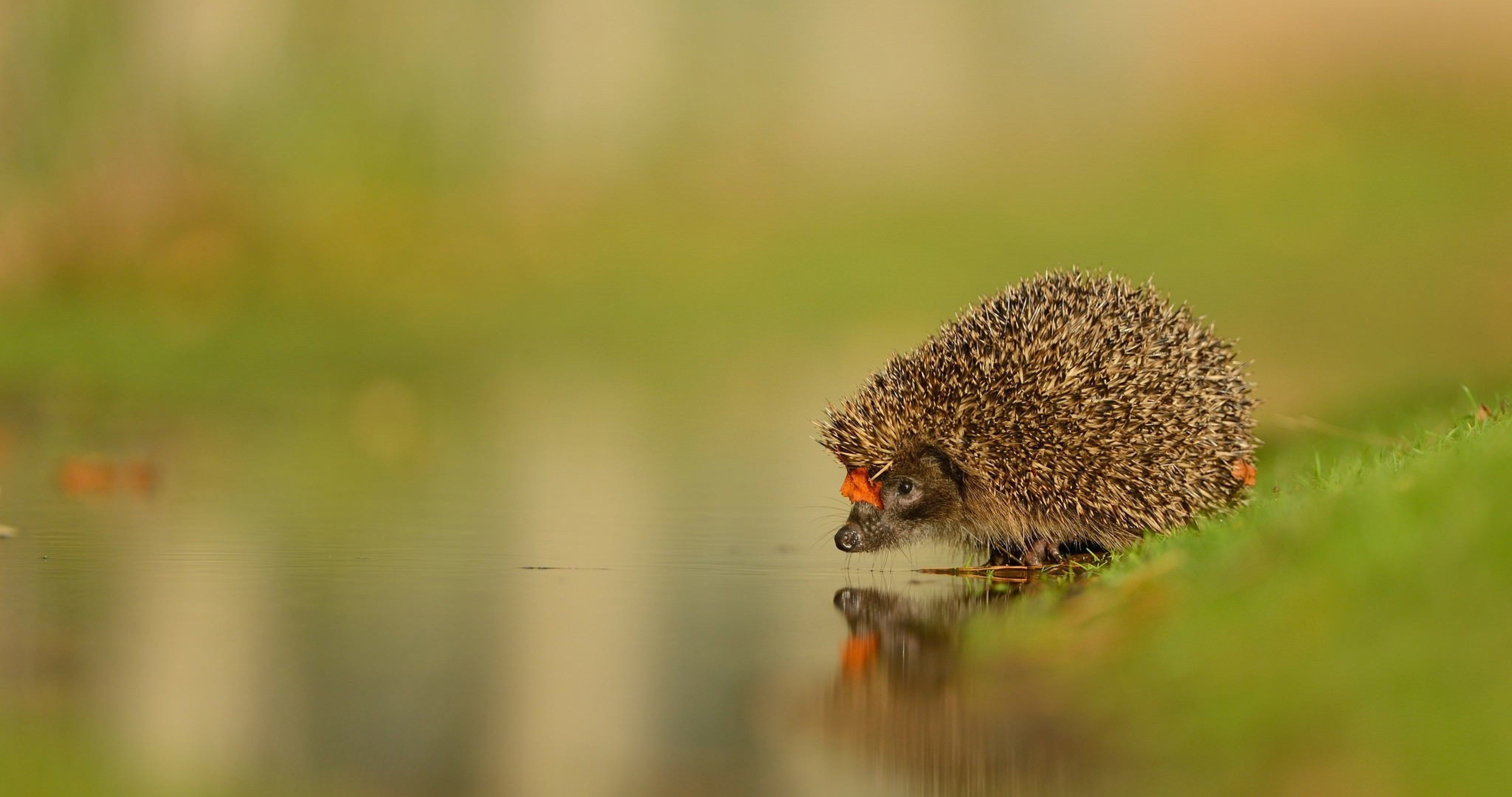 Hedgehog And Water 4k Ultra Hd Wallpaper Animals Animal Wallpaper Cute Hedgehog