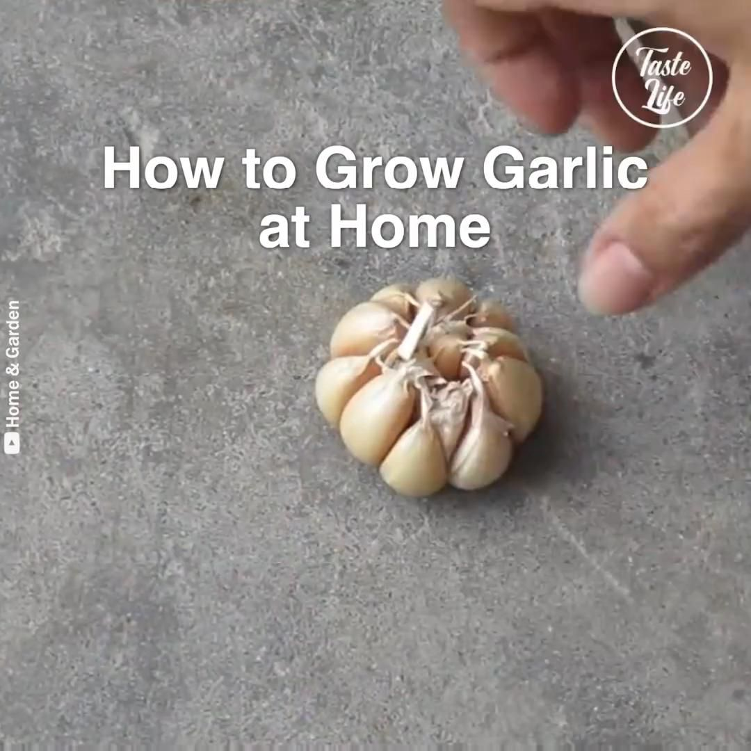 How to grow garlic at home? -   17 plants Landscaping how to grow ideas