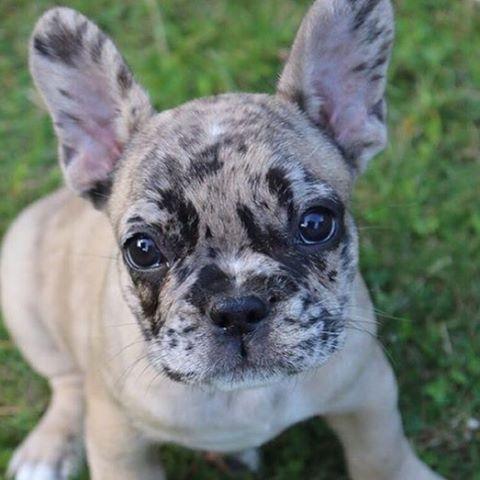 Merle French Bulldog Franzosische Bulldoggenbabys