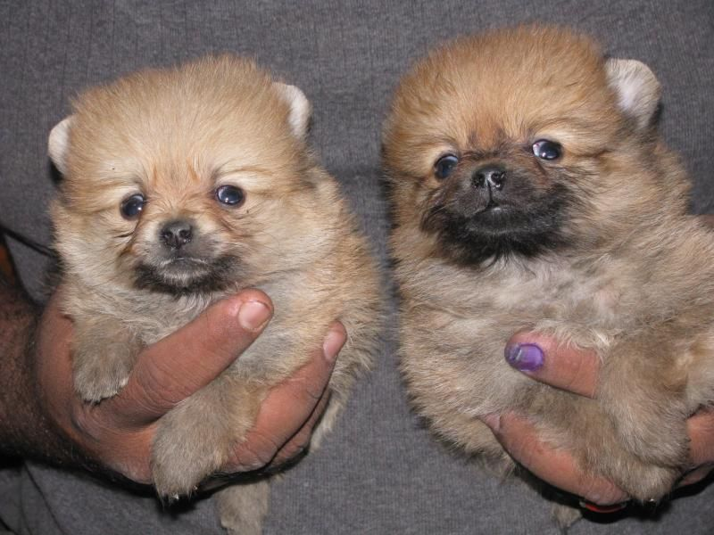 Pomeranian Dog Price Pomeranian Puppy For Sell Shih Tzu Puppies