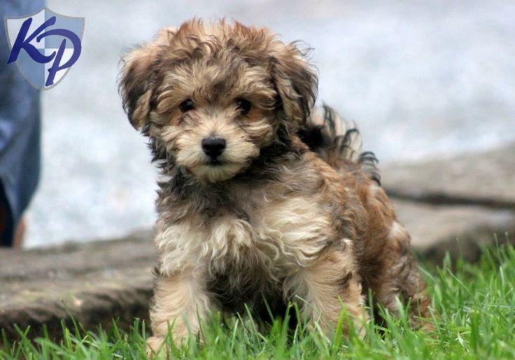 Havapoo Full Grown Google Search Havapoo Puppies Havanese